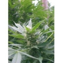 Feminized Special Kush 1 (Royal Queen Seeds)   9,50 Next Level Smartshop Webshop