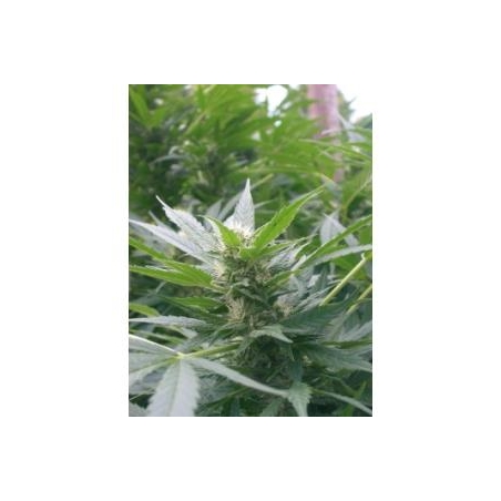 Feminized Special Kush 1 (Royal Queen Seeds)   9,50 Next Level Smartshop Webshop