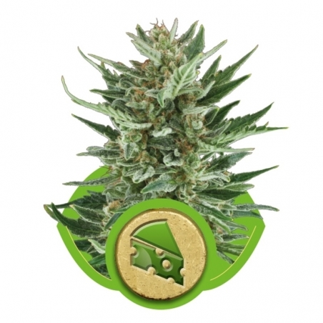 Autoflowering Royal Cheese Automatic (Royal Queen Seeds) € 20,00