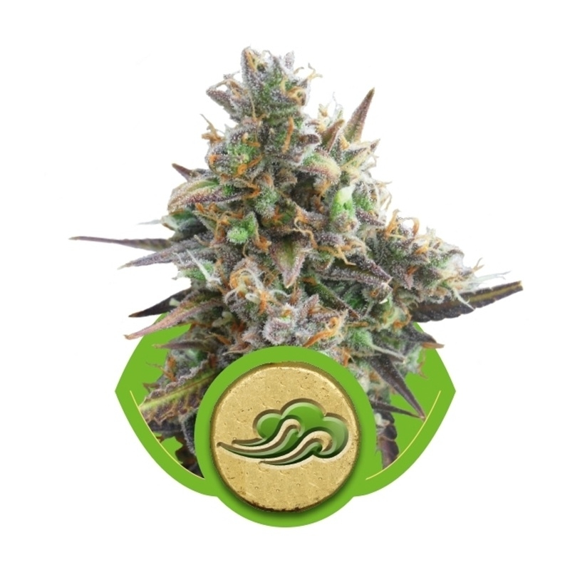 Autoflowering Royal Bluematic (Royal Queen Seeds) € 23,00
