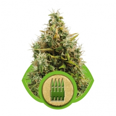 Autoflowering Royal AK Automatic   € 21,50