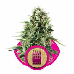 Feminized Royal AK (Royal Queen Seeds)   0,00 Next Level Smartshop Webshop