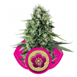 Power Flower (Royal Queen Seeds)
