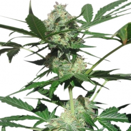 Autoflowering Northern Light Automatic (Royal Queen Seeds) € 23,00