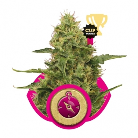 Feminized Northern Light (Royal Queen Seeds) € 21,50