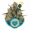 CBD Medical Mass (Royal Queen Seeds) CBD € 25,71 Next Level Smartshop Webshop