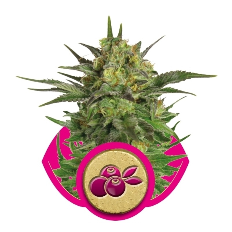 Feminized Haze Berry   € 25,00