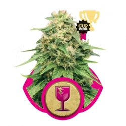 Feminized Critical (Royal Queen Seeds) € 23,00