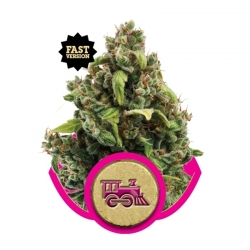 Candy Kush Express FAST (Royal Queen Seeds)