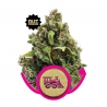 Feminized Candy Kush Express FAST (Royal Queen Seeds) € 23,00