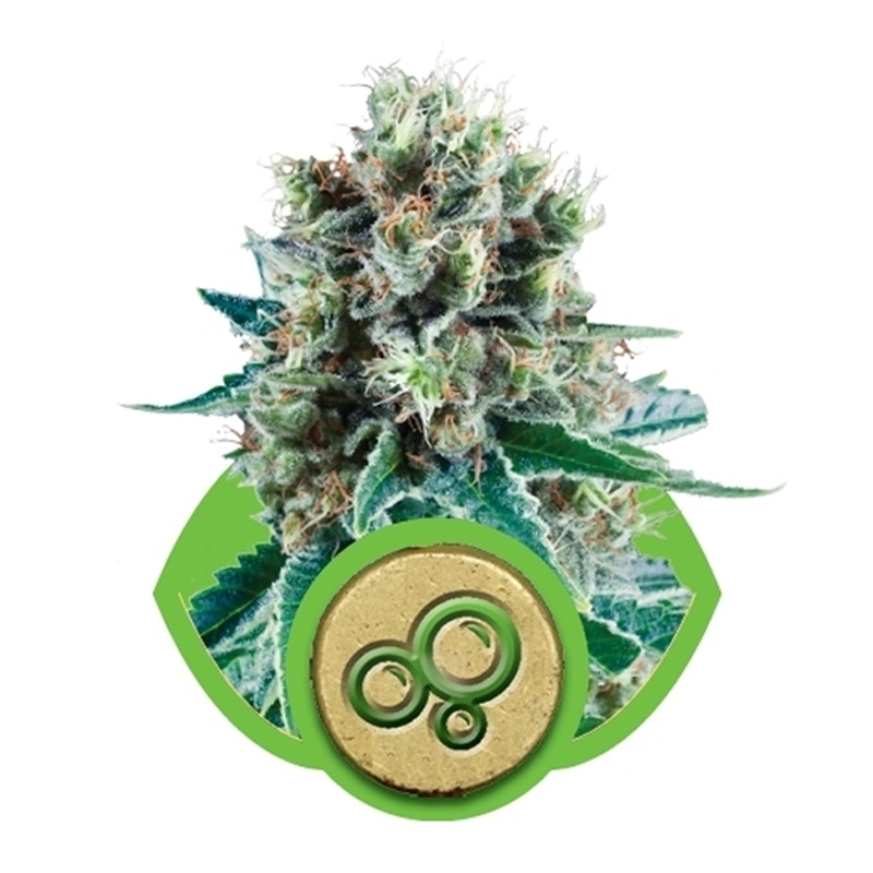 Autoflowering Bubble Kush Automatic (Royal Queen Seeds) € 25,00