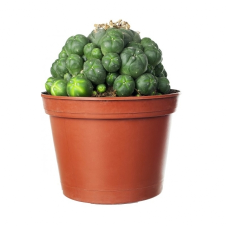 Mescaline Cactussen Peyote cactus in pot - 8.5 cm   33,95 | Next Level Smartshop Webshop