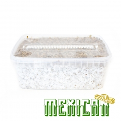 Psilocybe Cubensis Mexican -  Grow kit
