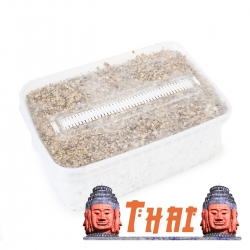 Psilocybe Cubensis Thai -  Grow kit