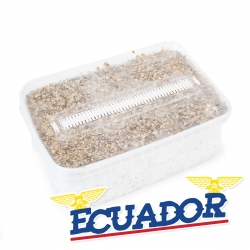 Cubensis Ecuador · Easy Paddo Grow kit