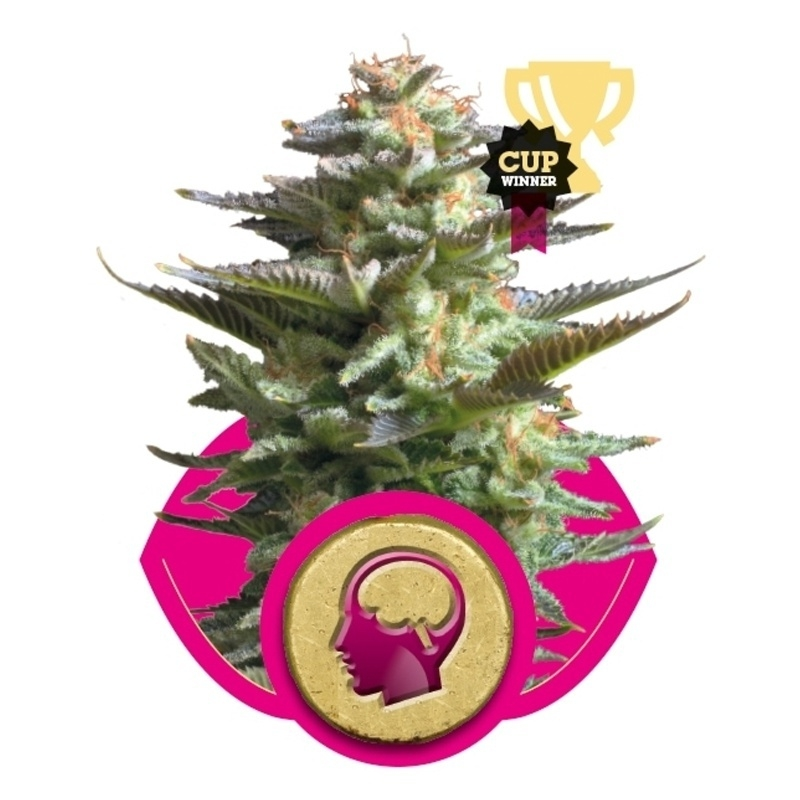 Royal Queen Seeds Amnesia Haze (Royal Queen Seeds) € 27,00
