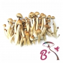 Paddo Growkit Cubensis B+ · Easy Paddo Grow kit   27,95 | Next Level Smartshop Webshop