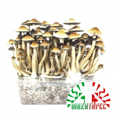 Paddo Growkits Psilocybe Cubensis Mazatapec - Grow kit   27,95 Next Level Smartshop Webshop