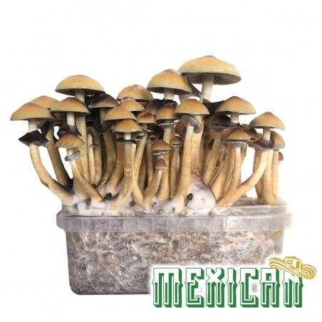 Paddo Growkits Cubensis Mexican · Magic Mushroom Grow kit  € 27,95 Next Level Smartshop Webshop