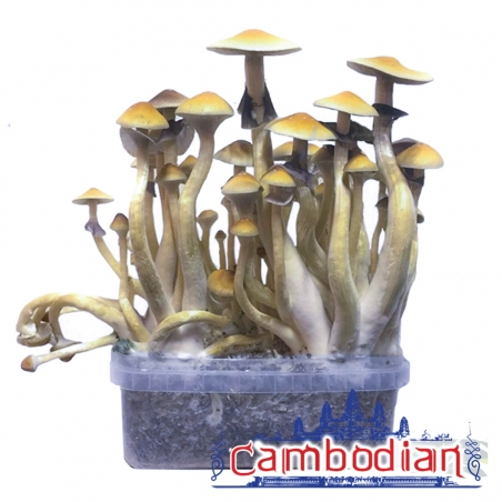 Paddo Growkits Cubensis Cambodian · Magic Mushroom Grow kit   27,95 Next Level Smartshop Webshop