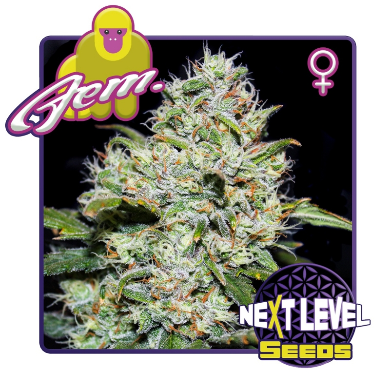 Next Level Seeds Gorilla Glue, Feminized   7,00 Next Level Smartshop Webshop