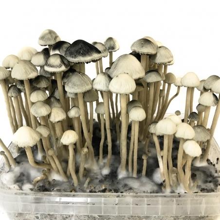 Paddo Grow Kits Copelandia Hawaiian Mushroom Grow kit · 1200cc  € 135,00 Next Level Smartshop Webshop