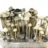 Paddo Growkits Copelandia Hawaiian Mushroom Grow kit · 1200cc  € 65,00 Next Level Smartshop Webshop