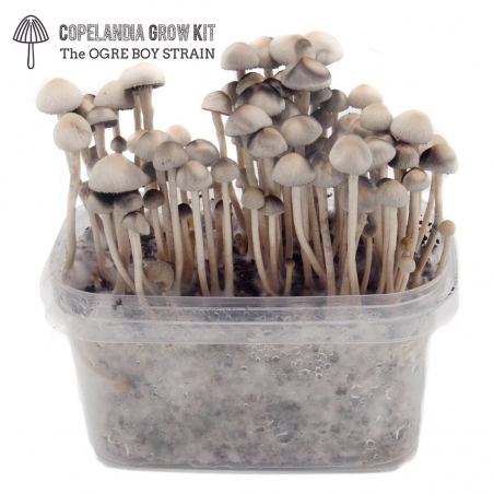 Paddo Growkits Copelandia Hawaiian Mushroom Grow kit · 550cc  € 45,00 Next Level Smartshop Webshop