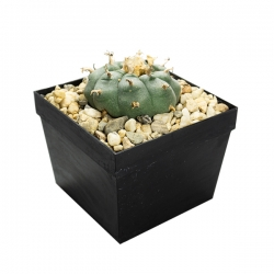 Lophophora williamsii | Peyote