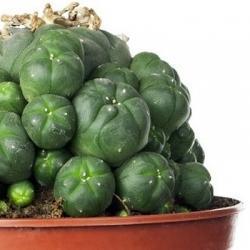 Cacti in pot