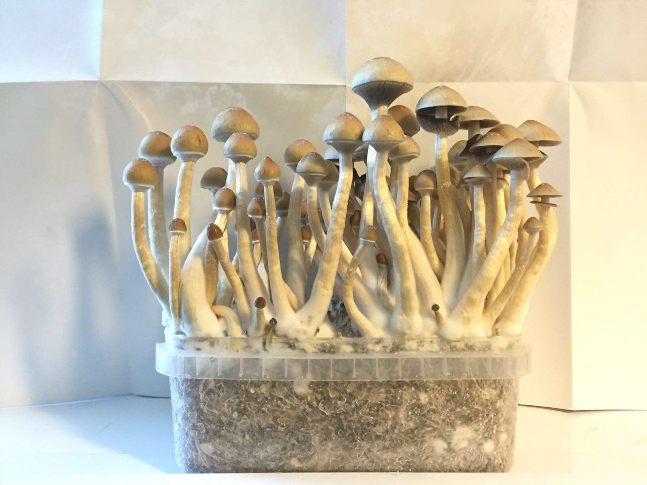 Order Psilocybe Cubensis Golden Teacher - Mushroom Growkit